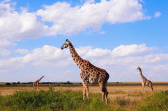 3 жирафа в саванне Стоковая Фотография