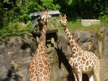 2 жирафа в Солнце Стоковая Фотография