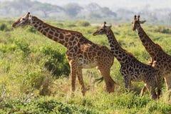 3 жирафа в Amboseli, Кении Стоковые Фото