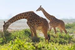 2 жирафа в Amboseli, Кении Стоковая Фотография RF
