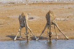 2 жирафа в Etosha n P , Намибия стоковые изображения