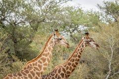 2 жирафа в Kruger Стоковое фото RF