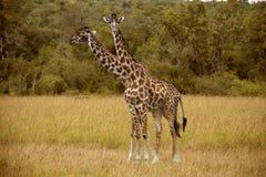 2 жирафа в Masai Mara Стоковое Фото