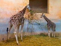 2 жирафа есть в зоопарке Стоковое Фото