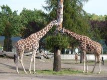 2 жирафа есть листья Стоковые Фотографии RF