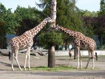 2 жирафа есть листья Стоковые Изображения RF