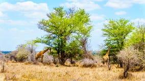 2 жирафа есть листья от больших деревьев Mopane в национальном парке Kruger Стоковая Фотография