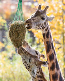 3 жирафа есть сено Стоковое фото RF