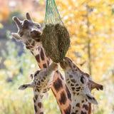 3 жирафа есть сено Стоковые Фото
