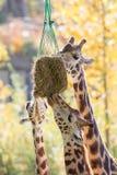 3 жирафа есть сено Стоковые Фотографии RF