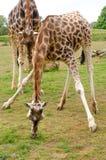 2 жирафа есть траву на парке живой природы Стоковые Фотографии RF