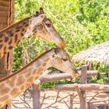 2 жирафа заботятся совместно Стоковая Фотография RF