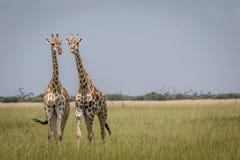 2 жирафа играя главные роли на камере в национальном парке Chobe, Стоковые Фото