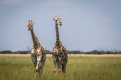 2 жирафа играя главные роли на камере в национальном парке Chobe, Стоковые Фотографии RF