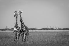 2 жирафа играя главные роли на камере в национальном парке Chobe, Стоковое Изображение RF