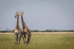 2 жирафа играя главные роли на камере в национальном парке Chobe, Стоковое фото RF
