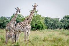 2 жирафа играя главные роли на камере Стоковая Фотография RF