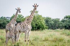 2 жирафа играя главные роли на камере Стоковое Изображение RF