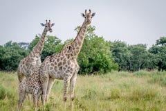 2 жирафа играя главные роли на камере Стоковые Фотографии RF