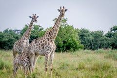 2 жирафа играя главные роли на камере Стоковое Фото