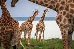 2 жирафа играя главные роли из-под шеи Стоковые Фото
