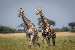 2 жирафа идя в траву Стоковая Фотография RF