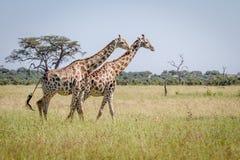 2 жирафа идя в траву Стоковые Фотографии RF
