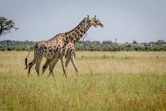 2 жирафа идя в траву Стоковая Фотография