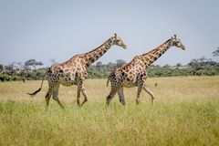 2 жирафа идя в траву Стоковое фото RF