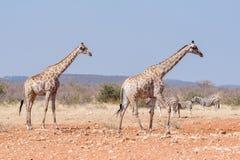 2 жирафа и 3 зебры Burchells на waterho Rateldraf Стоковая Фотография