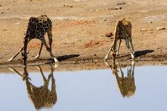 2 жирафа и их выпивать отражений Стоковое Изображение RF
