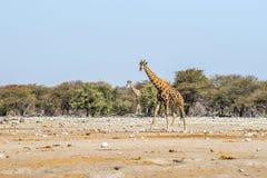 2 жирафа идя в африканскую саванну Стоковая Фотография RF