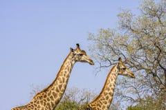 2 жирафа идя в саванну, в парке Kruger, Южная Африка Стоковые Изображения