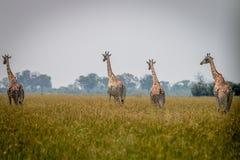 2 жирафа идя в траву Стоковое Изображение RF