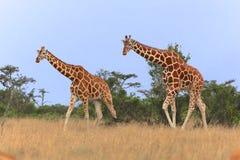 2 жирафа идя в samburu Стоковое фото RF