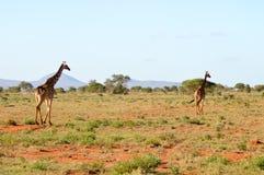 2 жирафа идя до конца Стоковое Изображение RF