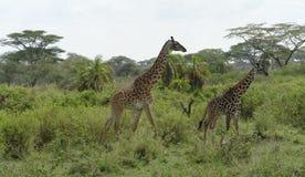 2 жирафа идя через зеленую вегетацию Стоковое Изображение RF