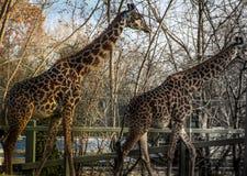 2 жирафа кочуя вокруг на святилище которое сохранит их Стоковое Изображение
