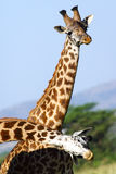 2 жирафа на африканской саванне Стоковое Изображение RF