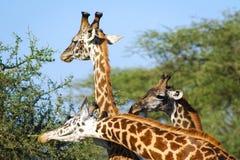 3 жирафа на африканской саванне Стоковое Изображение RF