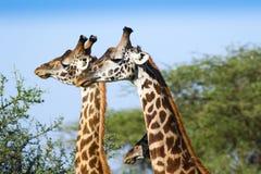 2 жирафа на африканской саванне Стоковые Фото