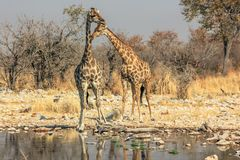 2 жирафа на бассейне Стоковое Фото