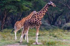 2 жирафа на близко области озера Nakuru леса, Африка Стоковые Фото