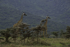 2 жирафа на кратере Ngorongoro Стоковое Фото