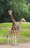 2 жирафа на поле Стоковые Изображения RF