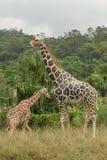 2 жирафа на саванне Стоковое Изображение RF