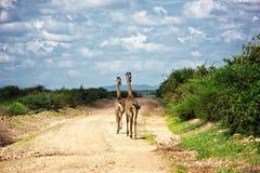 2 жирафа на сафари в Amboseli Стоковая Фотография