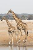 2 жирафа на waterhole Стоковая Фотография