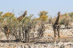 2 жирафа на waterhole Kalkheuwel в национальном парке Etosha Стоковые Фотографии RF