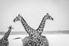 2 жирафа пересекая их шею Стоковое фото RF